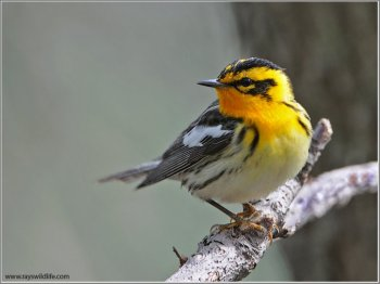 Blackburnian Warbler (Dendroica fusca) by Raymond Barlow