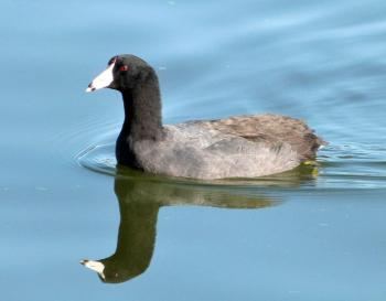 American Coot (Fulica americana) by Lee at Lk Morton