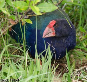 Takahe (Porphyrio hochstetteri) by Nick Talbot