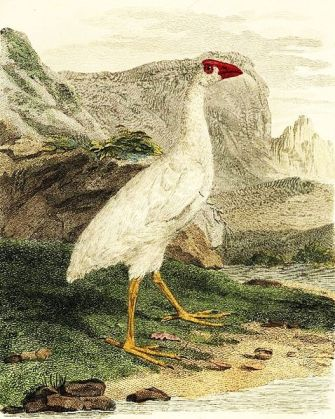 White Swamphen (Lord Howe) (Porphyrio albus) † Extinct ©WikiC