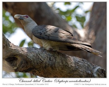 Channel-billed Cuckoo (Scythrops novaehollandiae) by Ian
