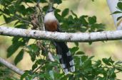 Chestnut-bellied Cuckoo (Coccyzus pluvialis) ©WikiC