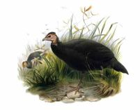 Black Guineafowl (Agelastes niger) ©Drawing WikiC