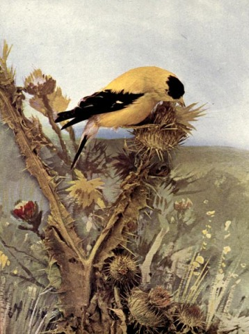 American Goldfinch of Birds Illustrated by Color Photography, 1897