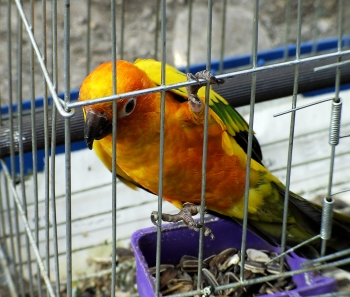 Bird in Cage ©WikiC