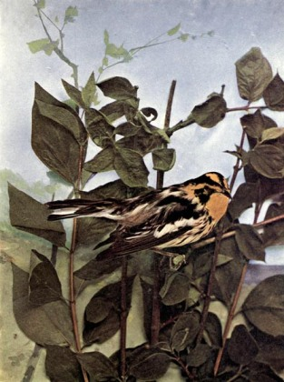 Blackburnian Warbler of Birds Illustrated by Color Photography, 1897