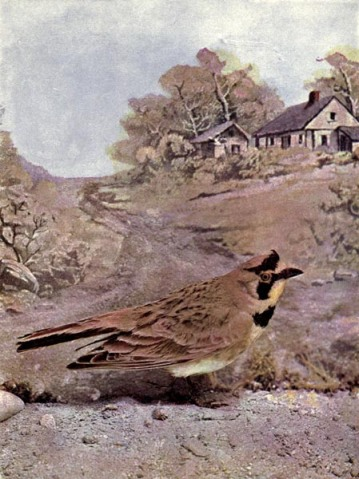 Horned Lark of Birds Illustrated by Color Photography, 1897