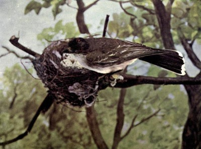 Kingbird of Birds Illustrated by Color Photography, 1897