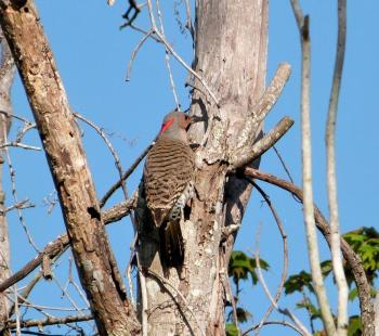 Northern Flicker cropped by Lee at S. Lk Howard Ntr Pk