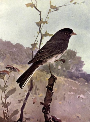 Slate-colored Red Junco of Birds Illustrated by Color Photography, 1897