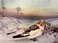 Snow Bunting of Birds Illustrated by Color Photography, 1897