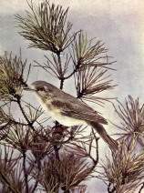 Warbling Vireo of Birds Illustrated by Color Photography, 1897