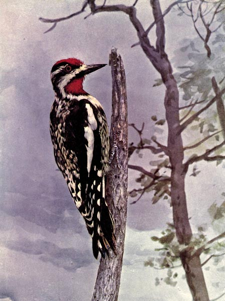 Yellow Bellied Sapsucker Of Birds Illustrated By Color Photography 1897