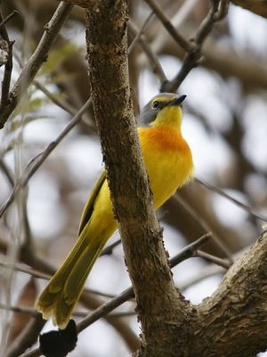 Orange-breasted Bushshrike (Chlorophoneus sulfureopectus) ©WikiC
