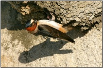 American Cliff Swallow (Petrochelidon pyrrhonota) by Daves BirdingPix