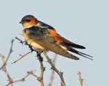 Red-rumped Swallow (Cecropis daurica) 2by Nikhil Devasar