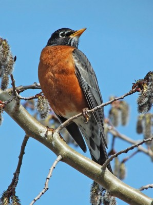 American Robin (Turdus migratorius)by Raymond Barlow