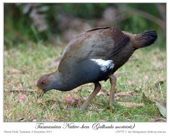 Tasmanian Nativehen (Tribonyx mortierii) by Ian 3
