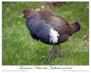 Tasmanian Nativehen (Tribonyx mortierii) by Ian 4