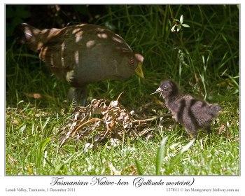 Tasmanian Nativehen (Tribonyx mortierii) by Ian 5