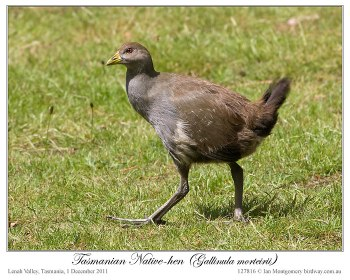 Tasmanian Nativehen (Tribonyx mortierii) by Ian 6