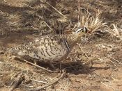 Black-faced Sandgrouse (Pterocles decoratus) ©WikiC