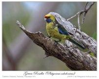 Green Rosella (Platycercus caledonicus) by Ian