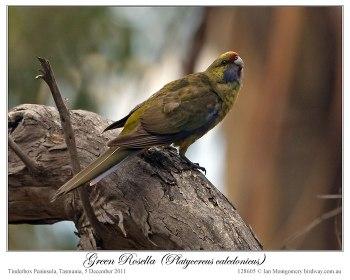 Green Rosella (Platycercus caledonicus) by Ian 3