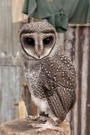 Greater Sooty Owl (Tyto tenebricosa) ©WikiC