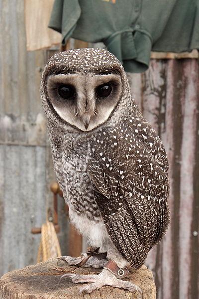 Greater Sooty Owl (Tyto tenebricosa) ©WikiC