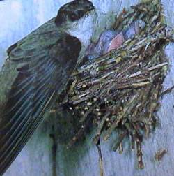 Chimney Swift (Chaetura pelagica) at nest ©WikiC