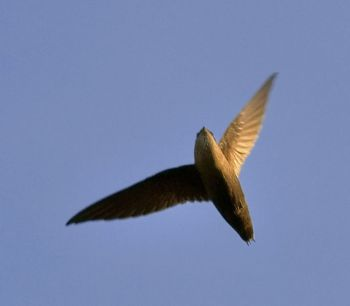 Chimney Swift (Chaetura pelagica) ©WikiC