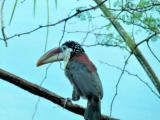 Curl-crested Aracari (Pteroglossus beauharnaesii) by Lee at Riverbanks Zoo