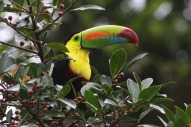Keel-billed Toucan (Ramphastos sulfuratus) by Margaret Sloan