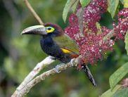 Yellow-eared Toucanet (Selenidera spectabilis) ©WikiC