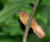 Black-capped Foliage-gleaner (Philydor atricapillus) by Dario Sanches