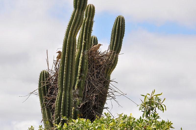 Firewood-gatherer (Anumbius annumbi) Nest ©WikiC