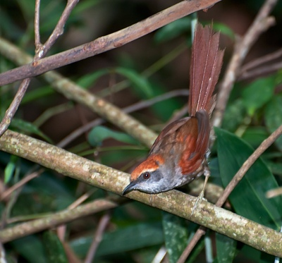 Rufous-capped Spinetail (Synallaxis ruficapilla) by Dario Sanches