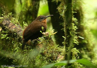 Tawny-throated Leaftosser (Sclerurus mexicanus) by Michael Woodruff