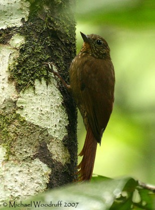 Wedge-billed Woodcreeper (Glyphorynchus spirurus) by Michael Woodruff