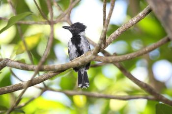 Black-crested Antshrike (Sakesphorus canadensis) ©WikiC