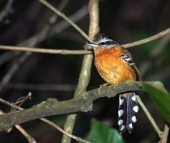 Ferruginous Antbird (Drymophila ferruginea) by Dario Sanches