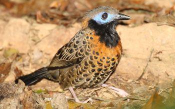 Ocellated Antbird (Phaenostictus mcleannani) ©WikiC