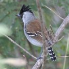 Silvery-cheeked Antshrike (Sakesphorus cristatus) by A Grosset