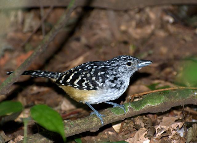 Spot-backed Antshrike (Hypoedaleus guttatus) by Dario Sanches