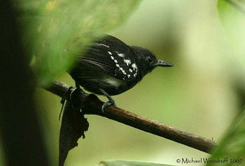 White-flanked Antwren (Myrmotherula axillaris) by Michael Woodruff
