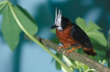 White-plumed Antbird (Pithys albifrons) ©WikiC