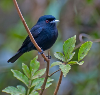 Blue-billed Black Tyrant (Knipolegus cyanirostris) by Dario Sanches