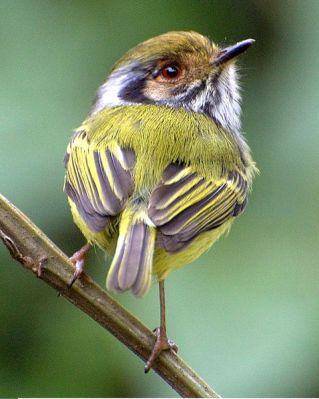 Eared Pygmy Tyrant (Myiornis auricularis) ©WikiC