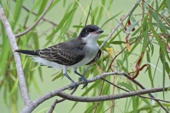 Eastern Kingbird (Tyrannus tyrannus) by Margaret Sloan